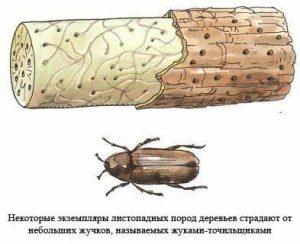 жук точильщик и поражённая древесина