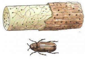 жук точильщик и поражённая им древесина