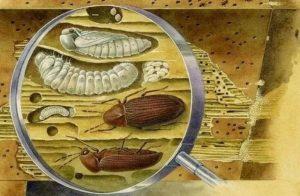 жуки древоточцы