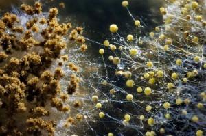 грибы плесени под микроскопом