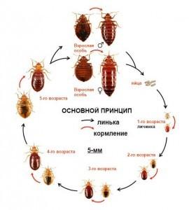 жизненный цикл таракана