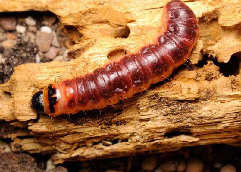 отважным героем жук древоточец личинка фото пара обладает