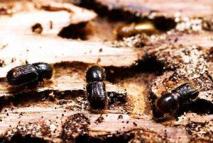 древесина ихъеденная жуками короедами